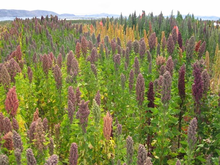 Quinoa er sunn, næringsrik og tilpasningsdyktig